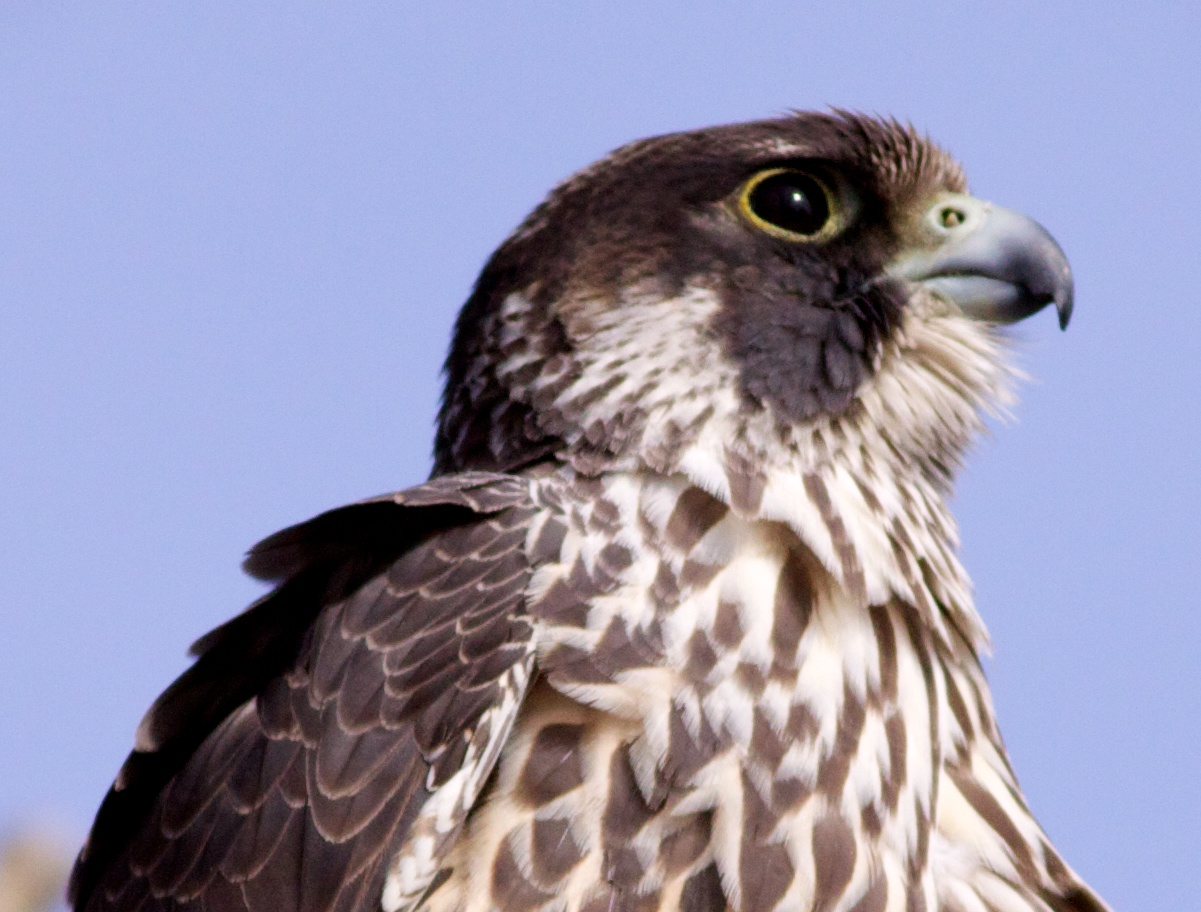 A peregrine falcon (not Island Girl) visits Goose Pond outside of Madison, WI.  Photo by Arlene Koziol.