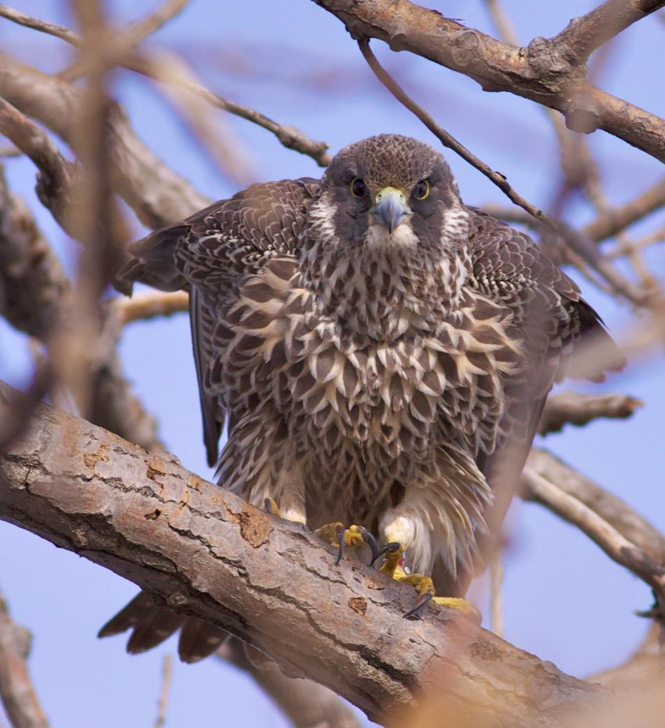 This banded peregrine, Suny, hatched and was banded in Minnesota in 2010. The Midwest subspecies may be residents year-round in this area.  Photo by Arlene Koziol .