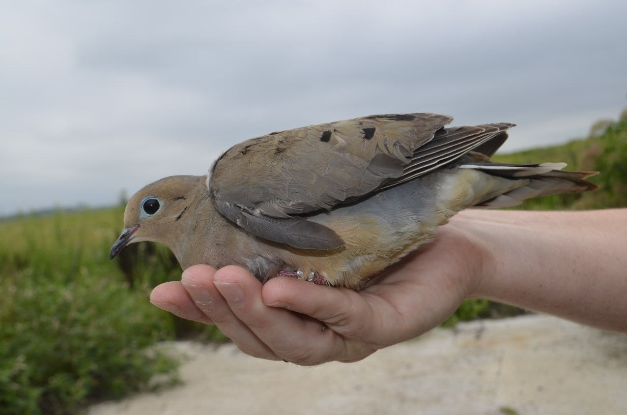 Mourning Dove. Photo by Mark Martin