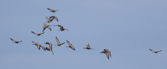 Photo of a flock of flying white-fronts at Goose Pond by Arlene Koziol, Madison Audubon volunteer