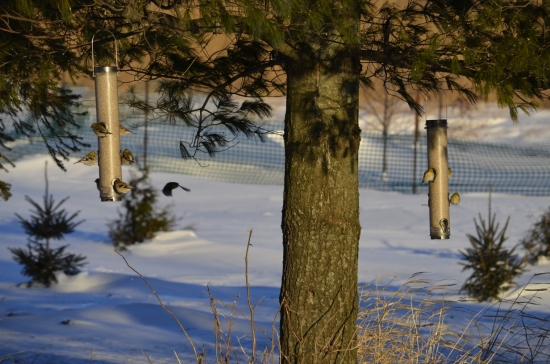 Goldfinches feeding at Goose Pond Sanctuary feeders