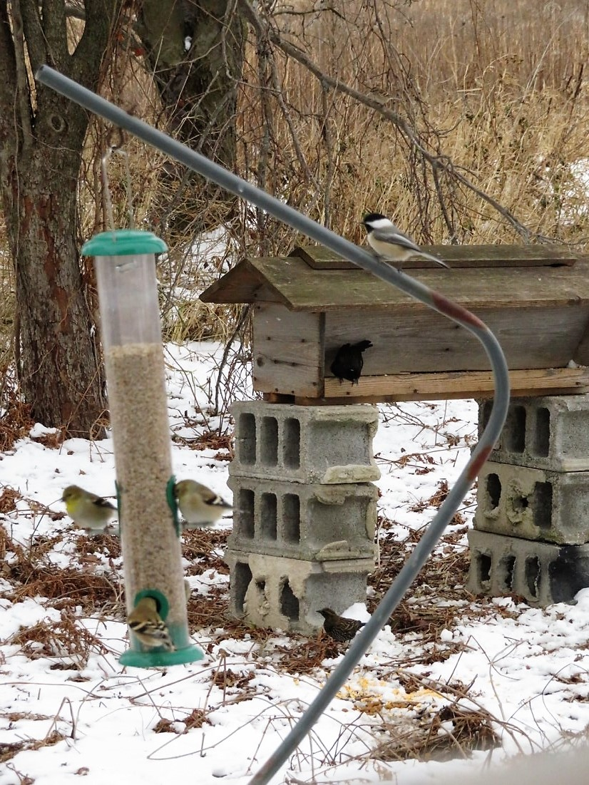 A black-capped chickadee waits for an opportunity to feed at the sunflower fines feeder being used by American goldfinches. In the background a red-winged blackbird enjoys a seed mix at the hopper feeder.