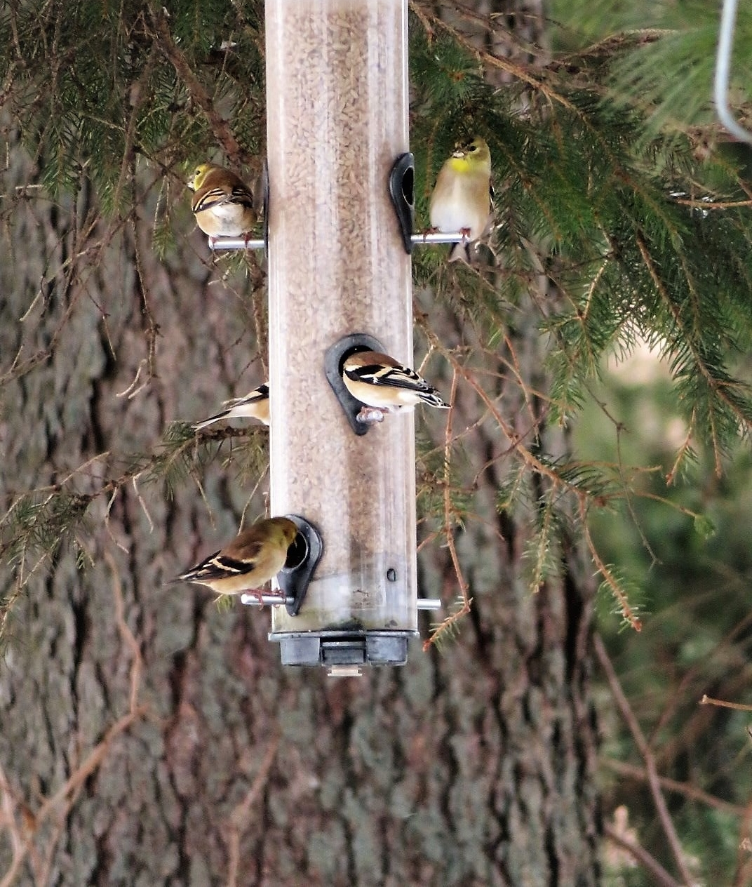 American goldfinches at one of Mark and Sue's feeders.