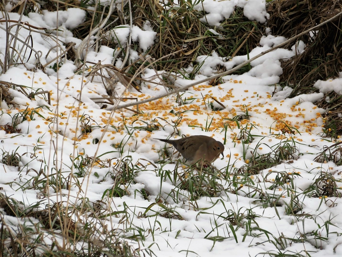 A mourning dove pecks through the shell corn we threw out for the rabbits.