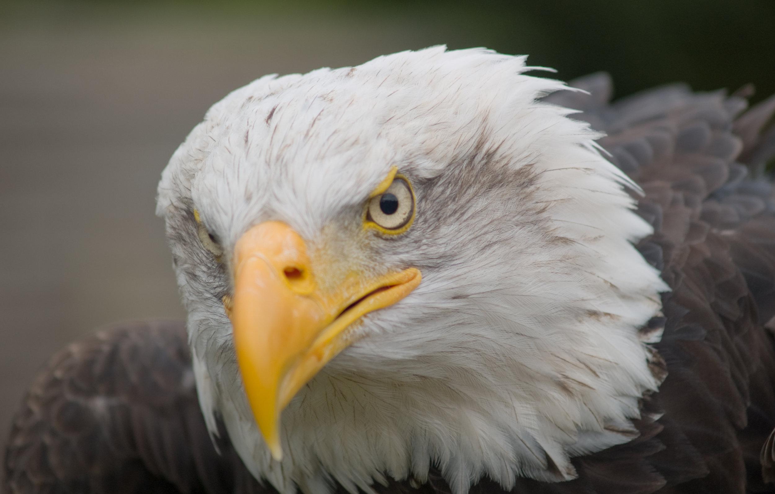 Bald Eagle, Photography by Ben Bawden