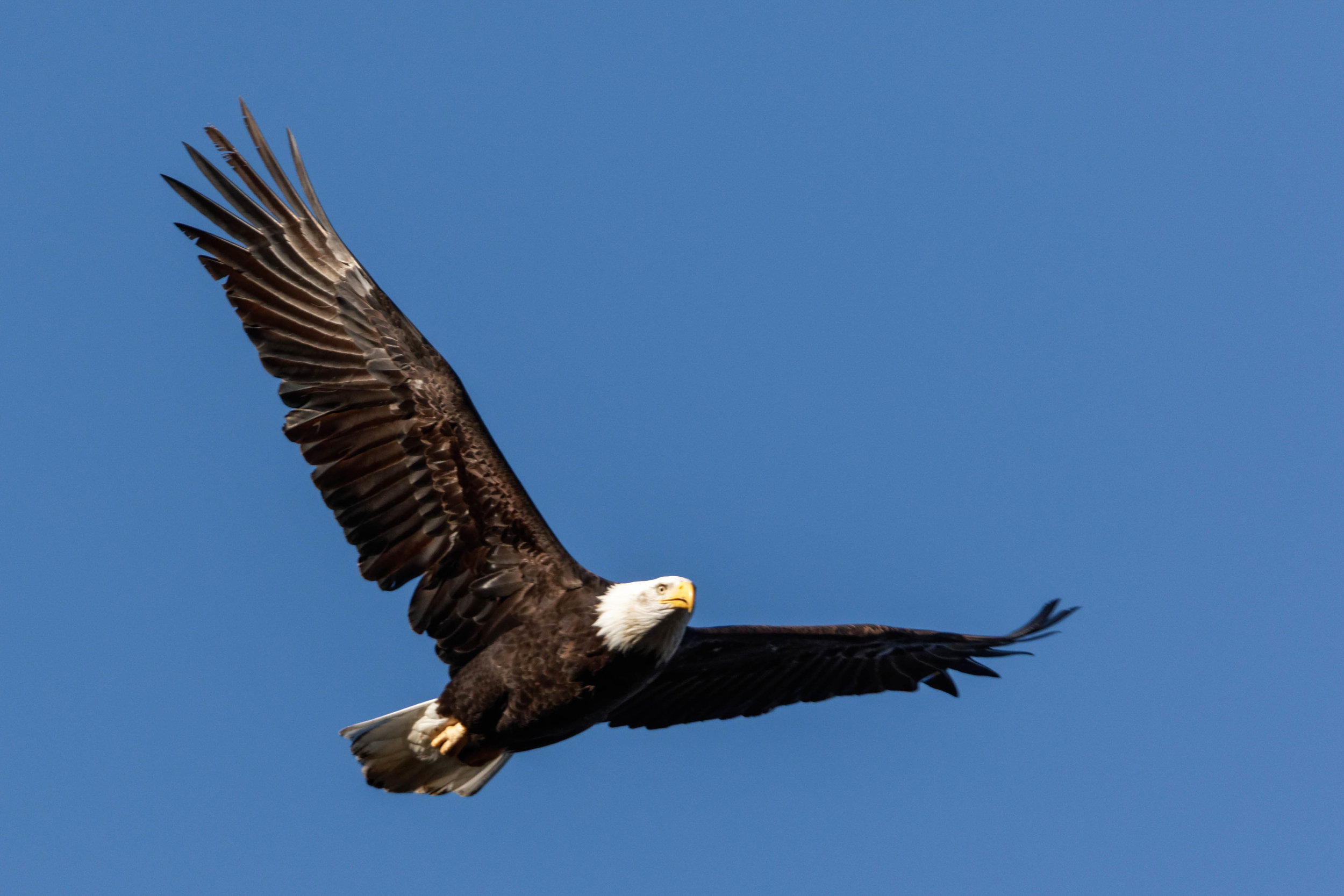 Bald Eagle in-flight, Photography by Ronald Woan