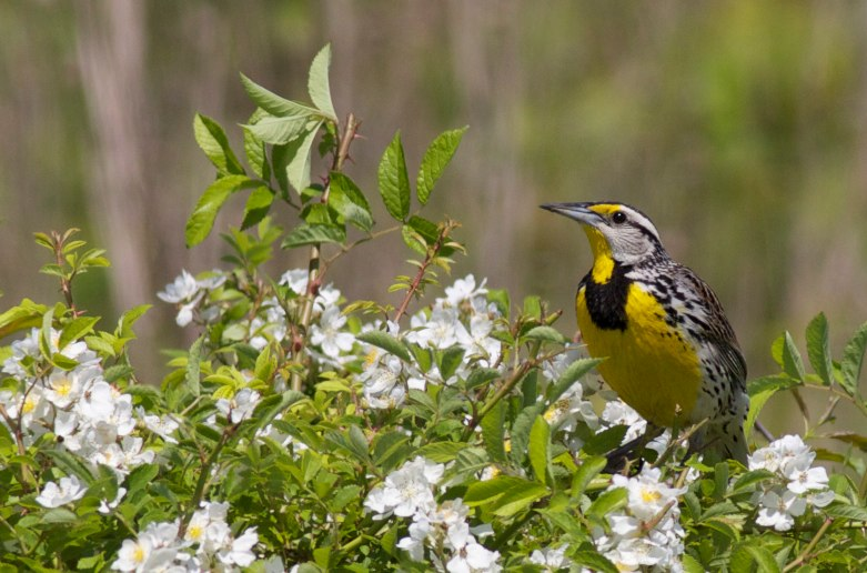 Eastern meadowlark photo taken in the Browne Prairie by Arlene Koziol