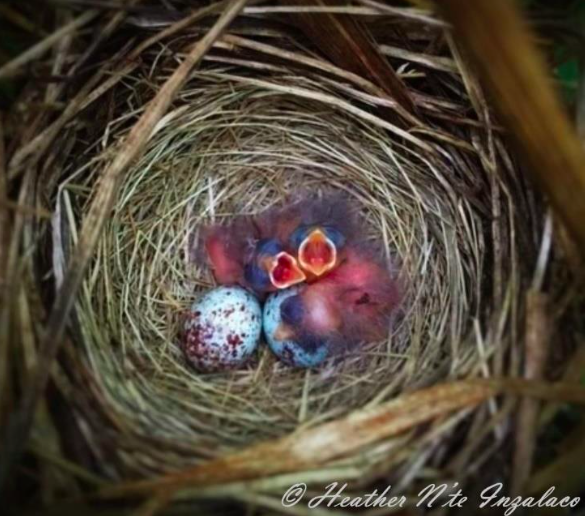 Song sparrows and eggs in a nest, photography by Heather Inzalaco