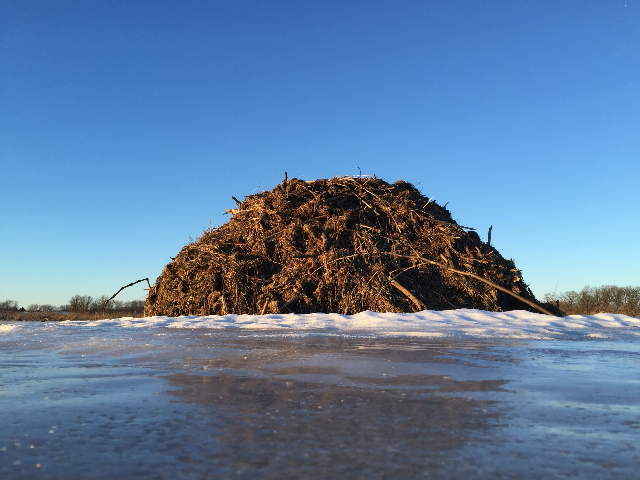 A Muskrat House from a Muskrat Perspective  ,  Photography by Drew Harry