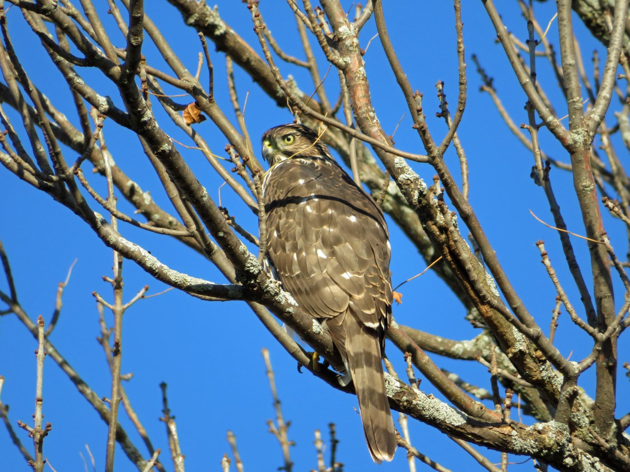 A first-year female Cooper's hawk at the Kampen Road residence, photo credits to Maddie Dumas