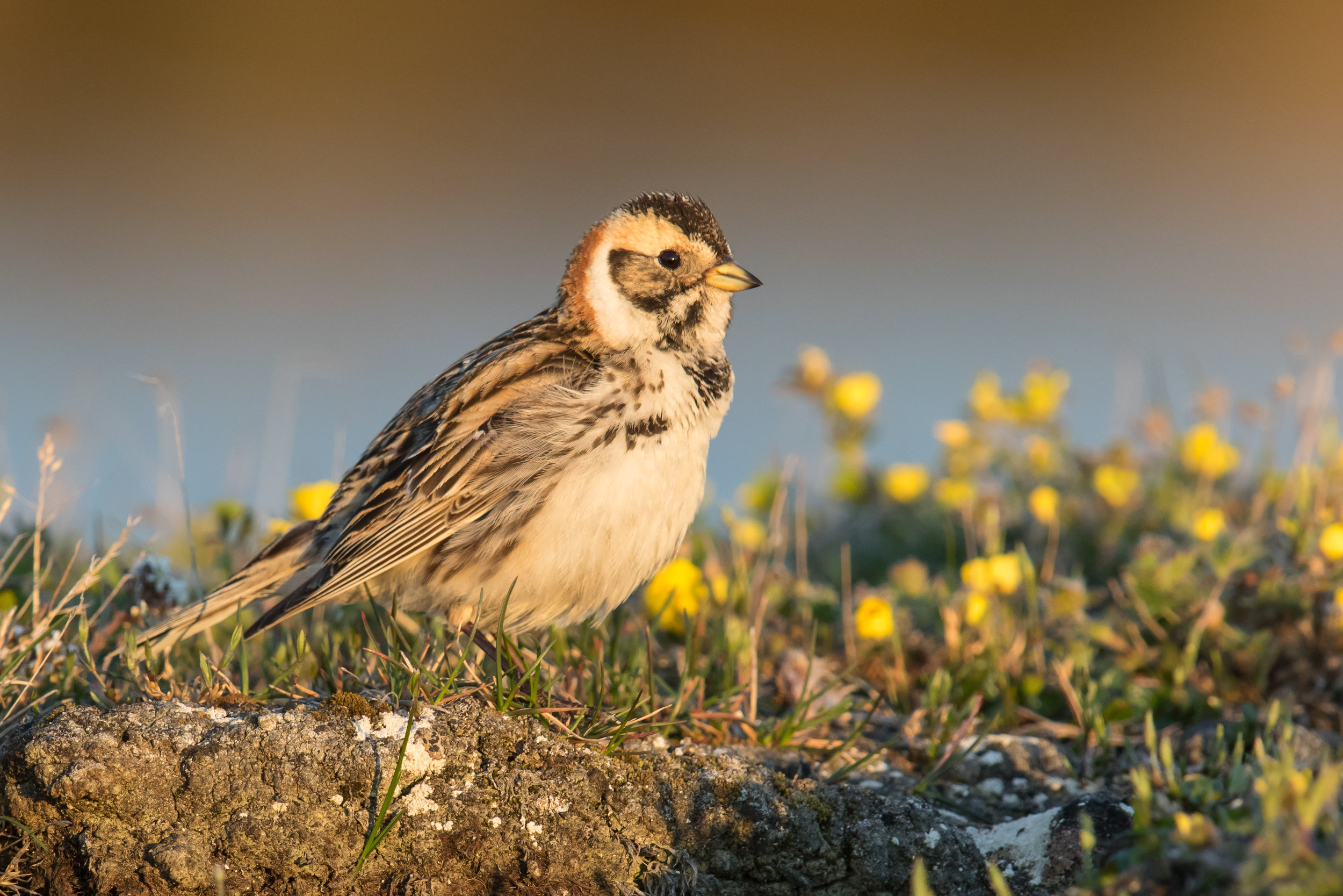 Lapland Longspur, Photography by Mick Thompson