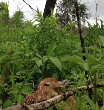 A white-tailed deer fawn hides in the cover of Faville Grove Sanctuary. Photo by Drew Harry.