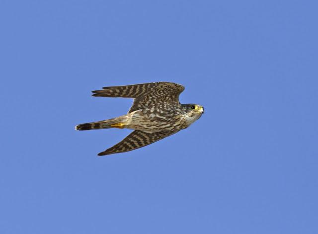 Merlin, taiga sub-species. Photo by Graham Catley