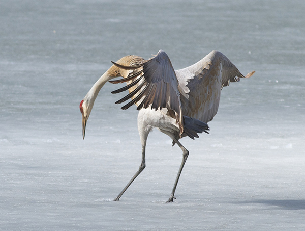 Sandhill crane landing on April ice,  photo by Arlene Koziol