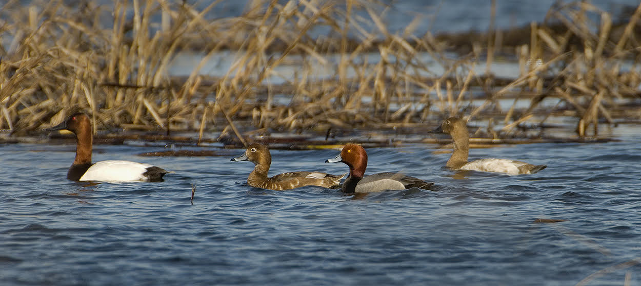 Species includes (from Left-Right): Male canvasback, female redhead, male redhead, and female canvasback was taken last spring at Schoeneberg Marsh.  Photography by Richard Armstrong.