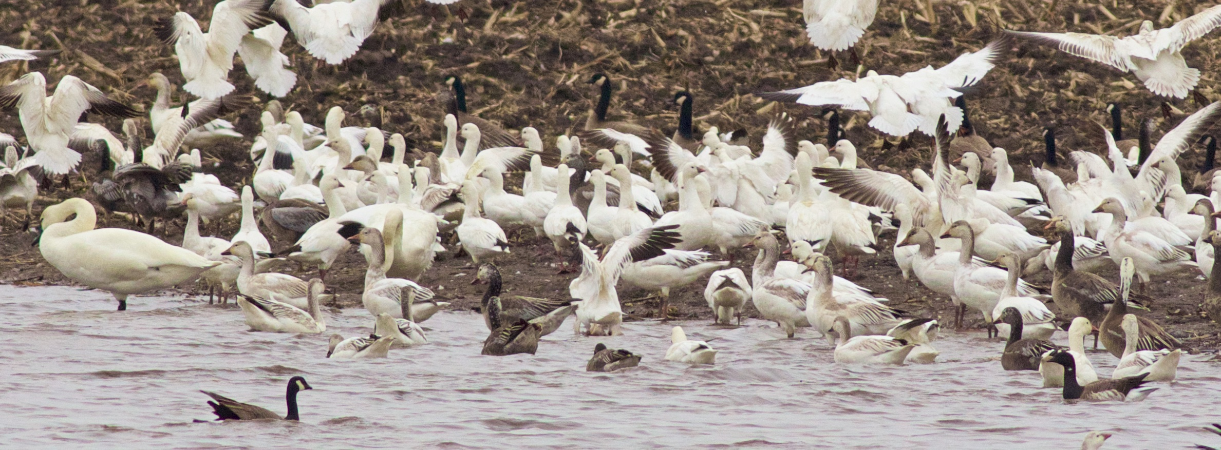 Five species of Geese:Brant, Ross's, Snow, Cackling, Canada; Photography by Arlene Koziol