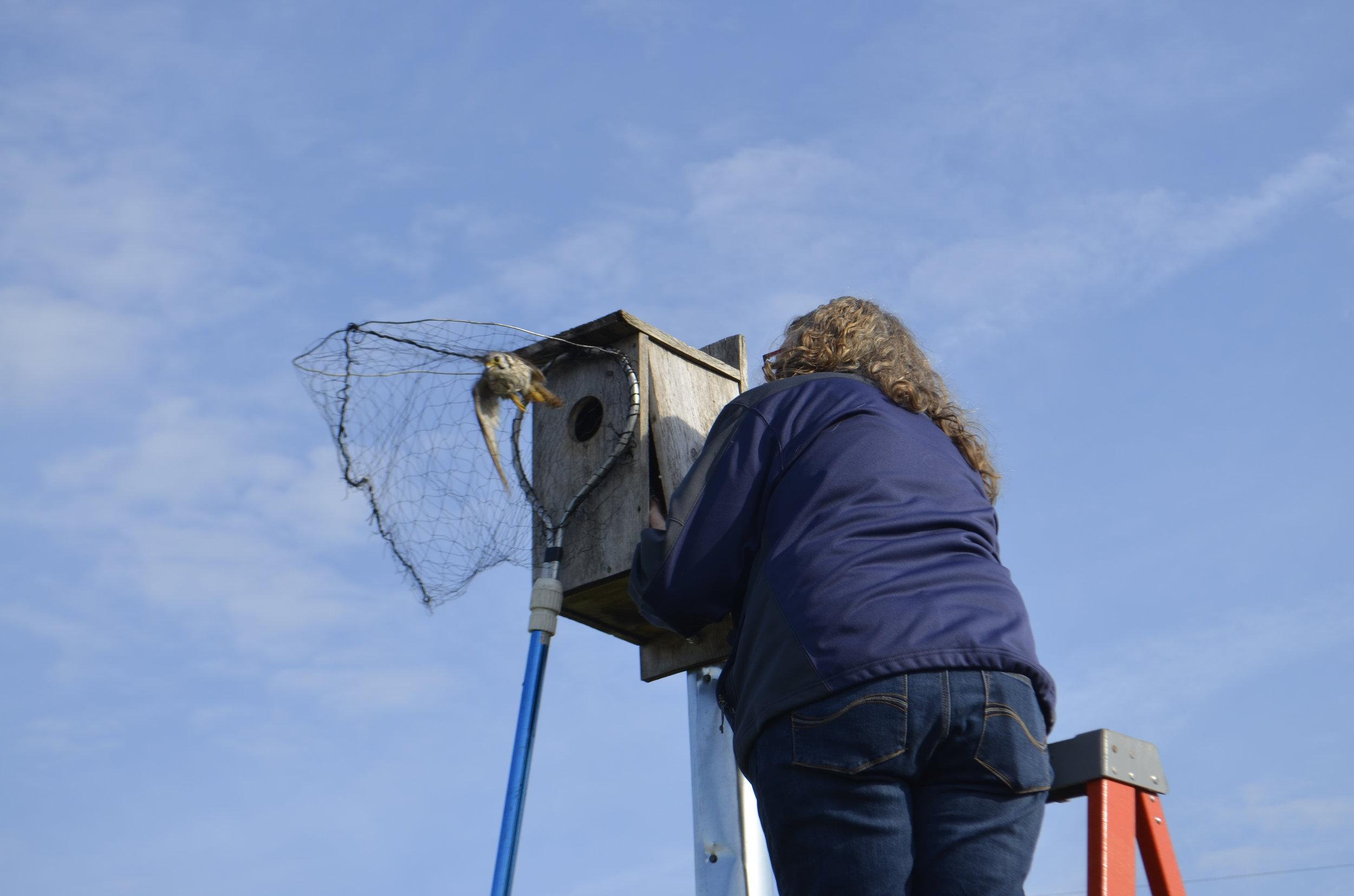 Janet Eschenbauch netting a kestrel. Photography by Mark Martin