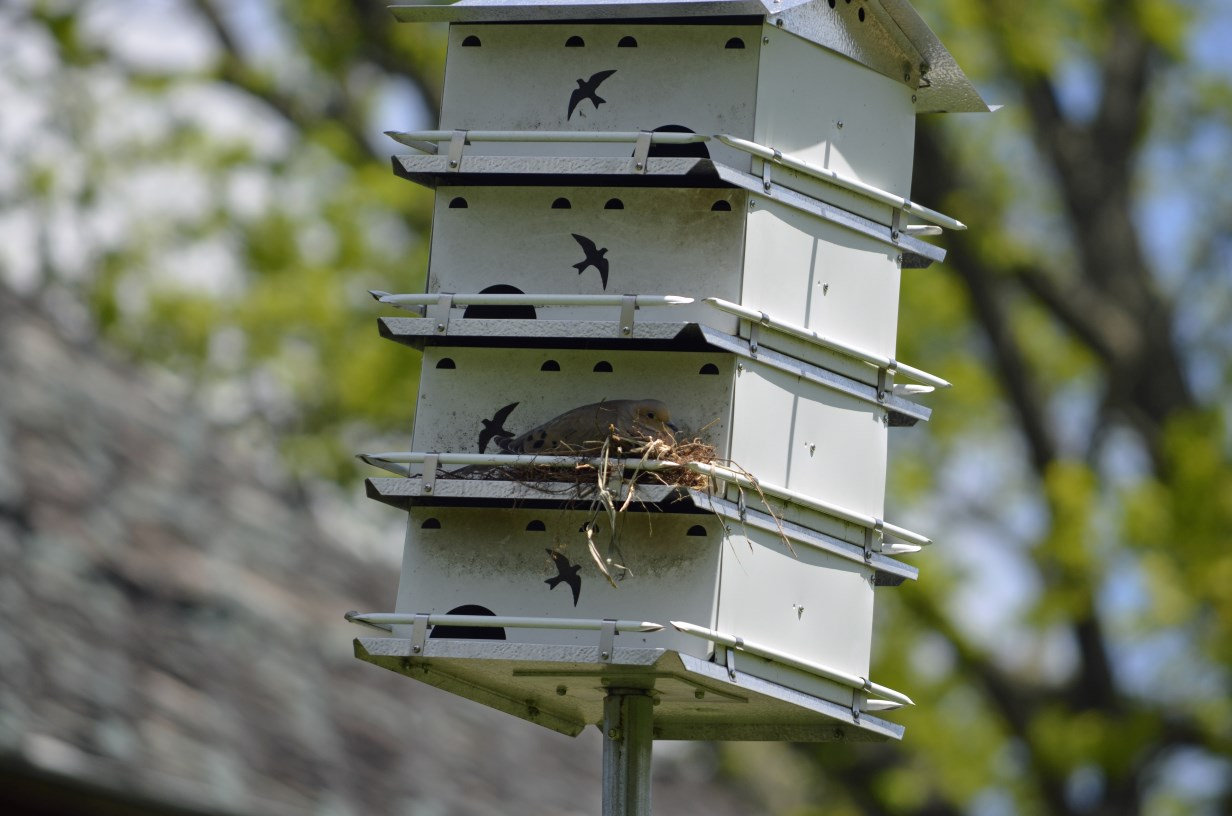 Mourning dove nest on a purple martin box  , photo by Mark Martin