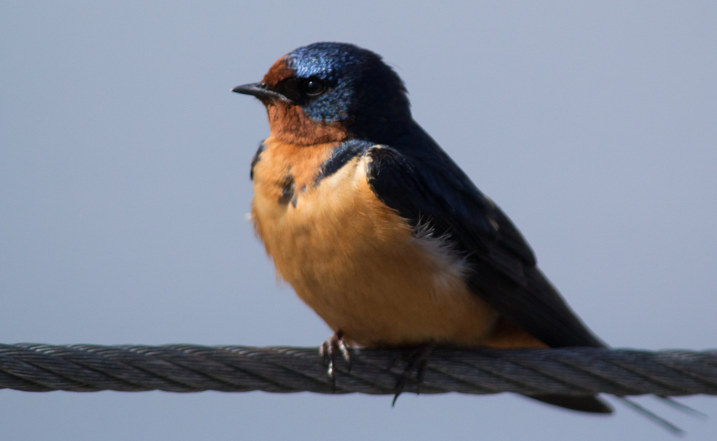 Barn swallow, photo by US Fish and Wildlife Service Midwest