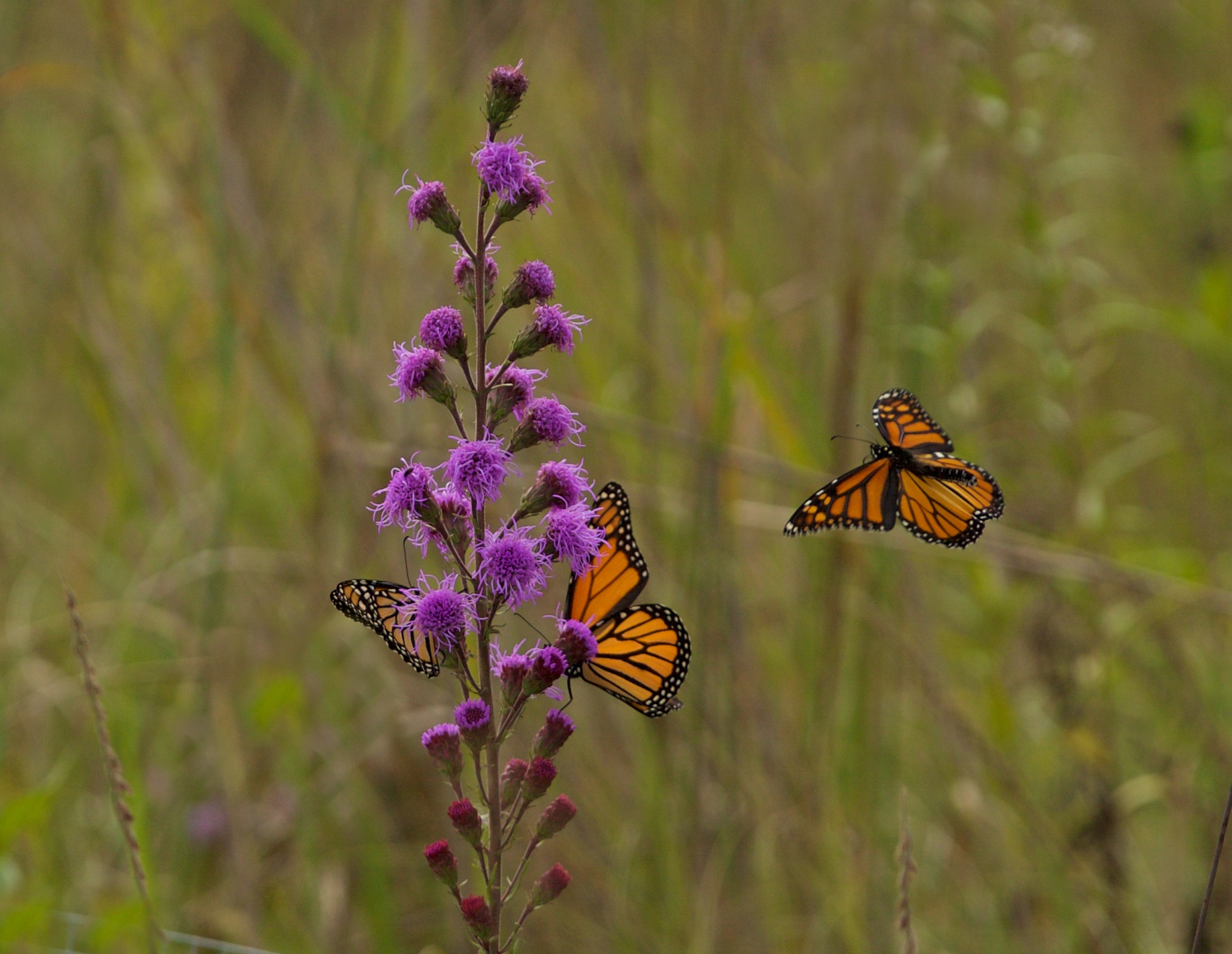 Monarchs nectaring on liatris. Photo by Arlene Koziol