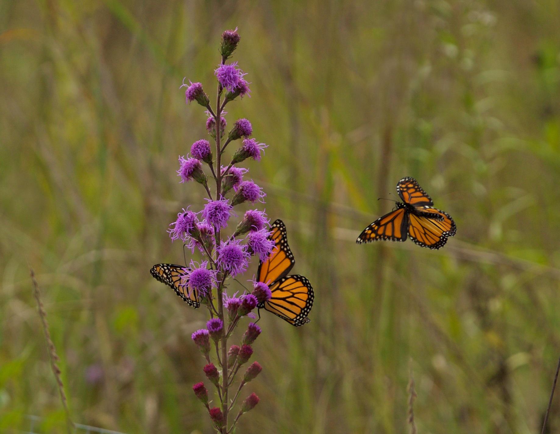 Monarchs nectaring on liatris. Photo by Arlene Koziol