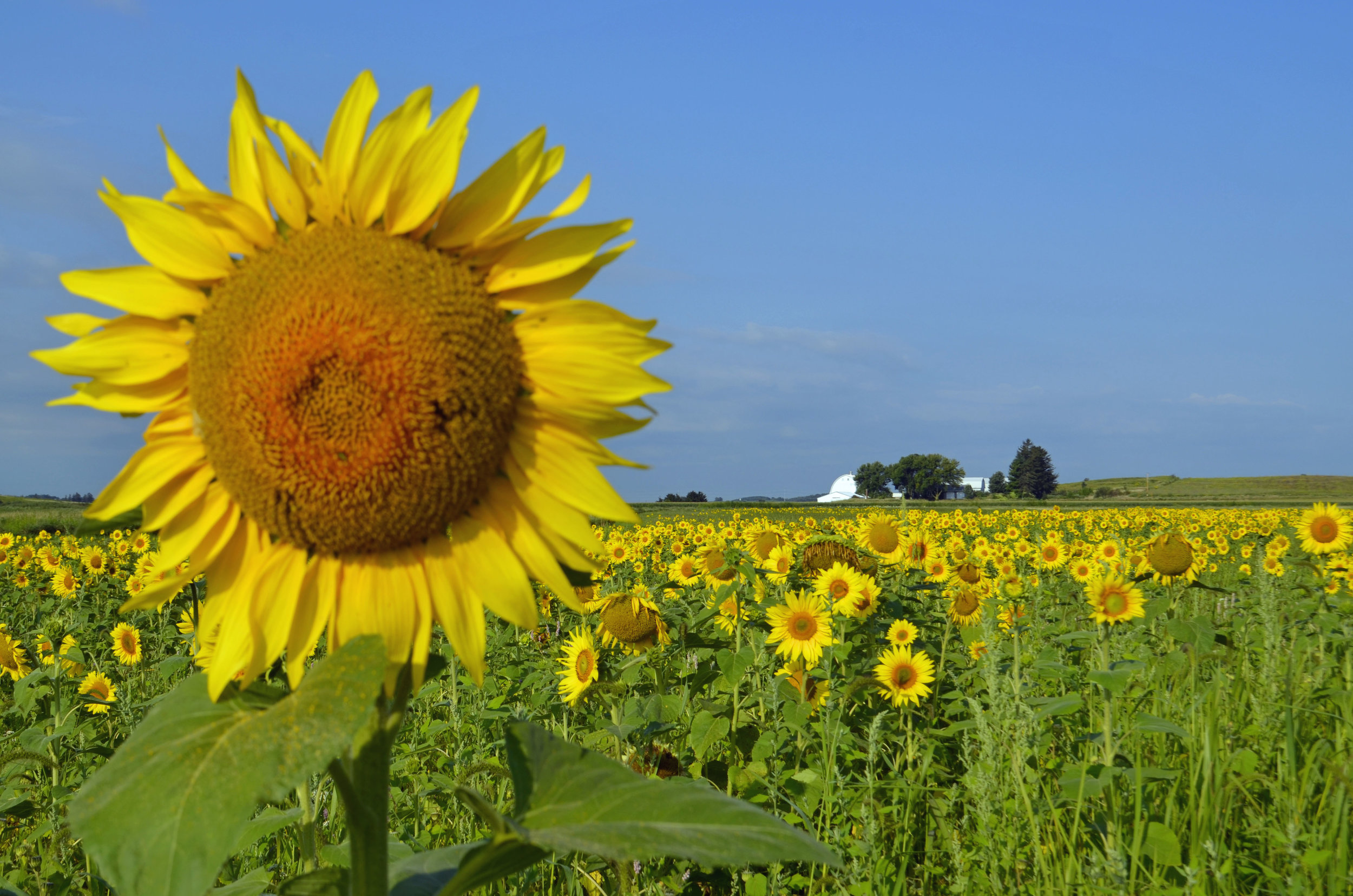 Sunflowers galore at the Goose Pond Sanctuary food plot. Photo by Mark Martin