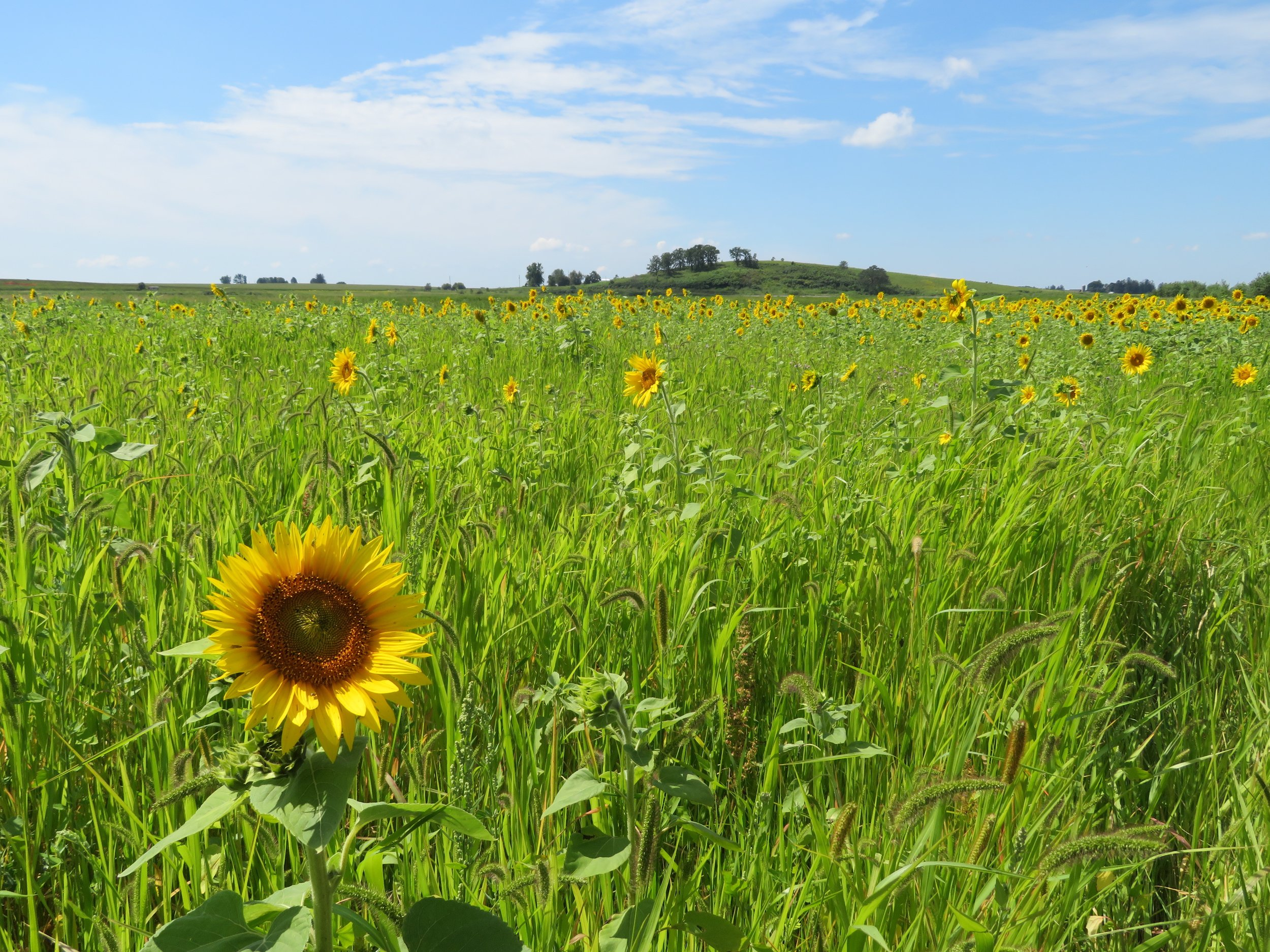 Sunflowers galore at the Goose Pond Sanctuary food plot. Photo by Maddie Dumas