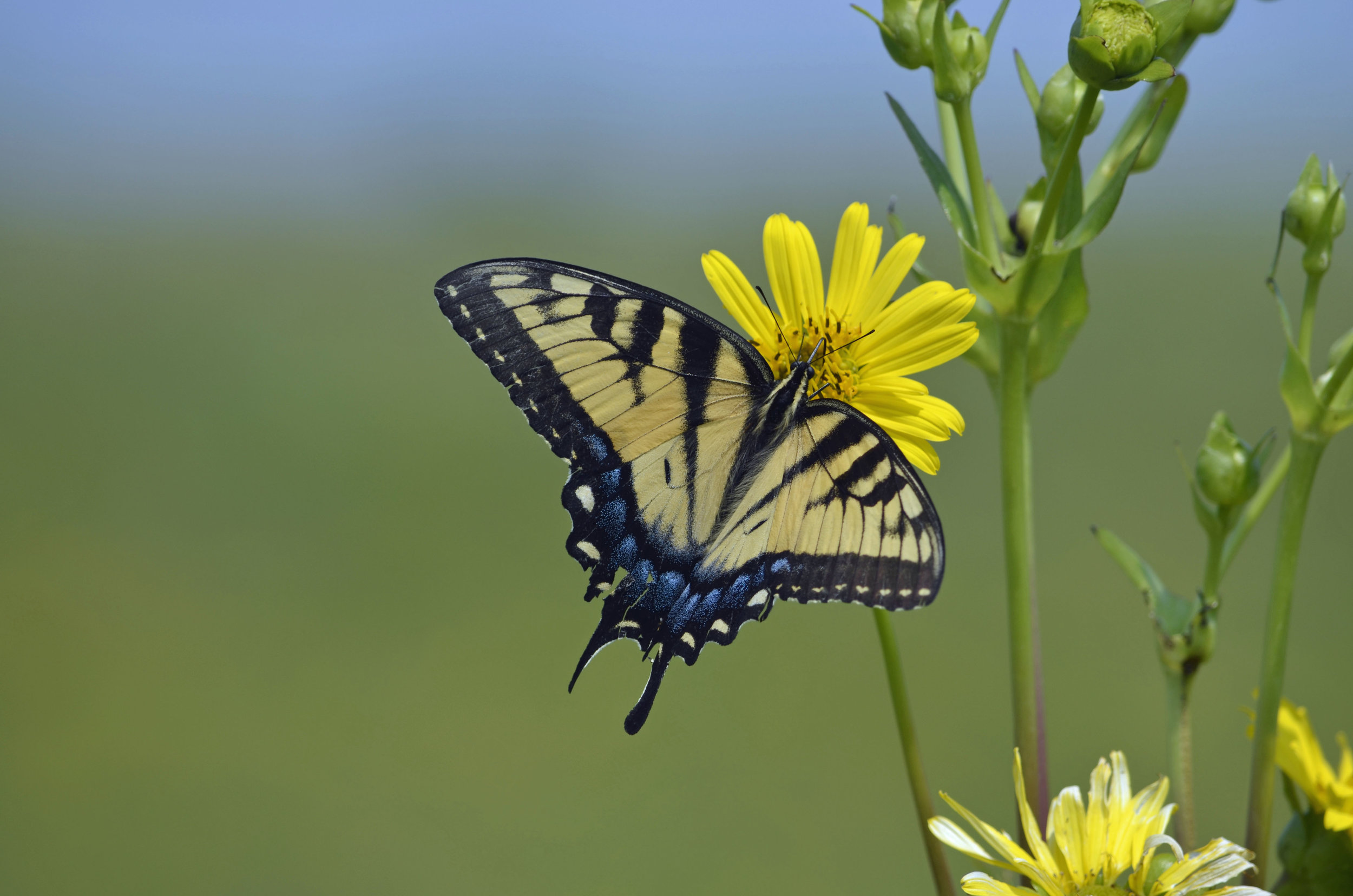 An eastern tiger swallowtail on cup plant. Photo by Mark Martin