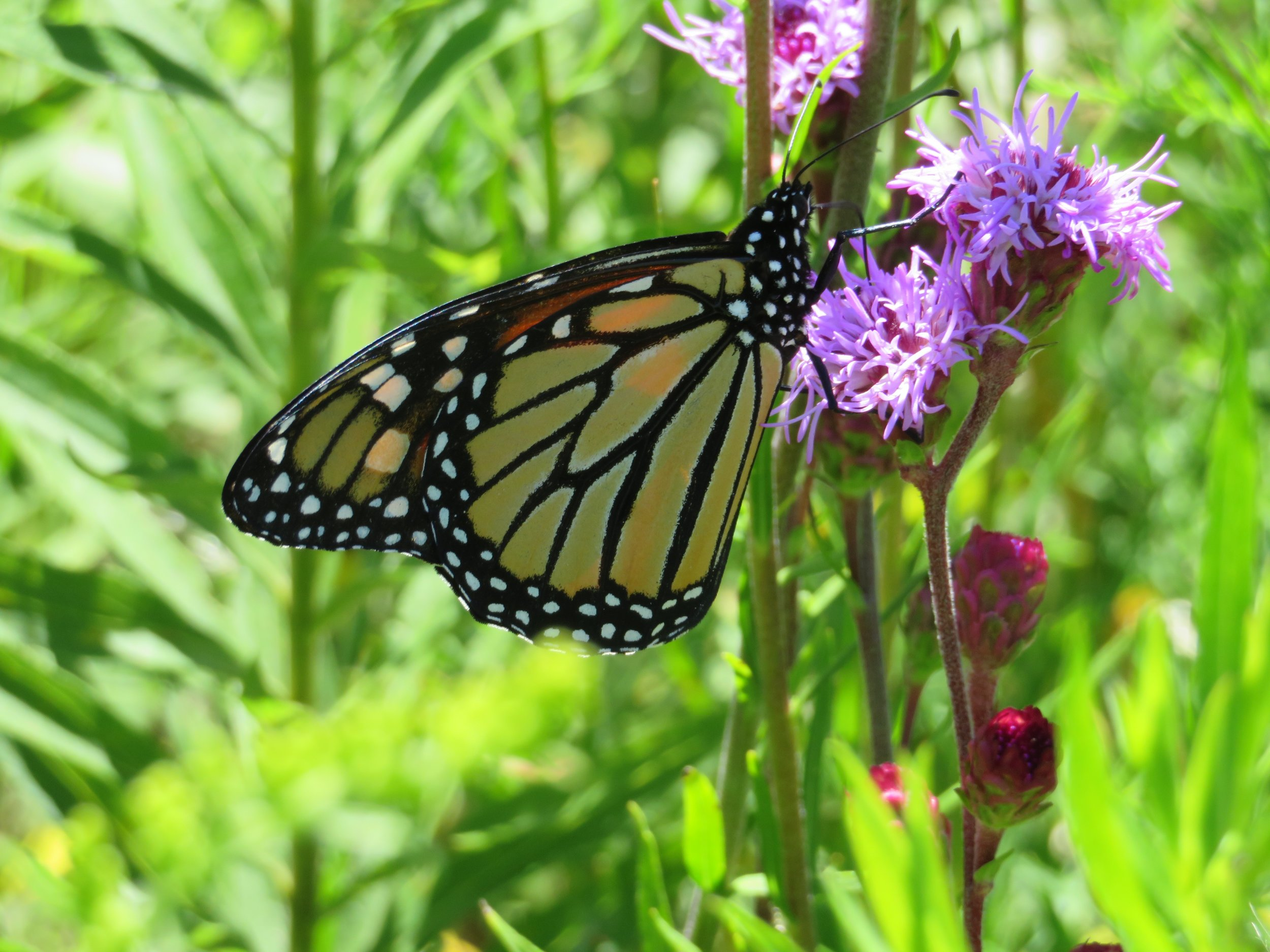 A monarch finds energy and nourishment from the nectar of a meadow blazing star. Photo by Maddie Dumas