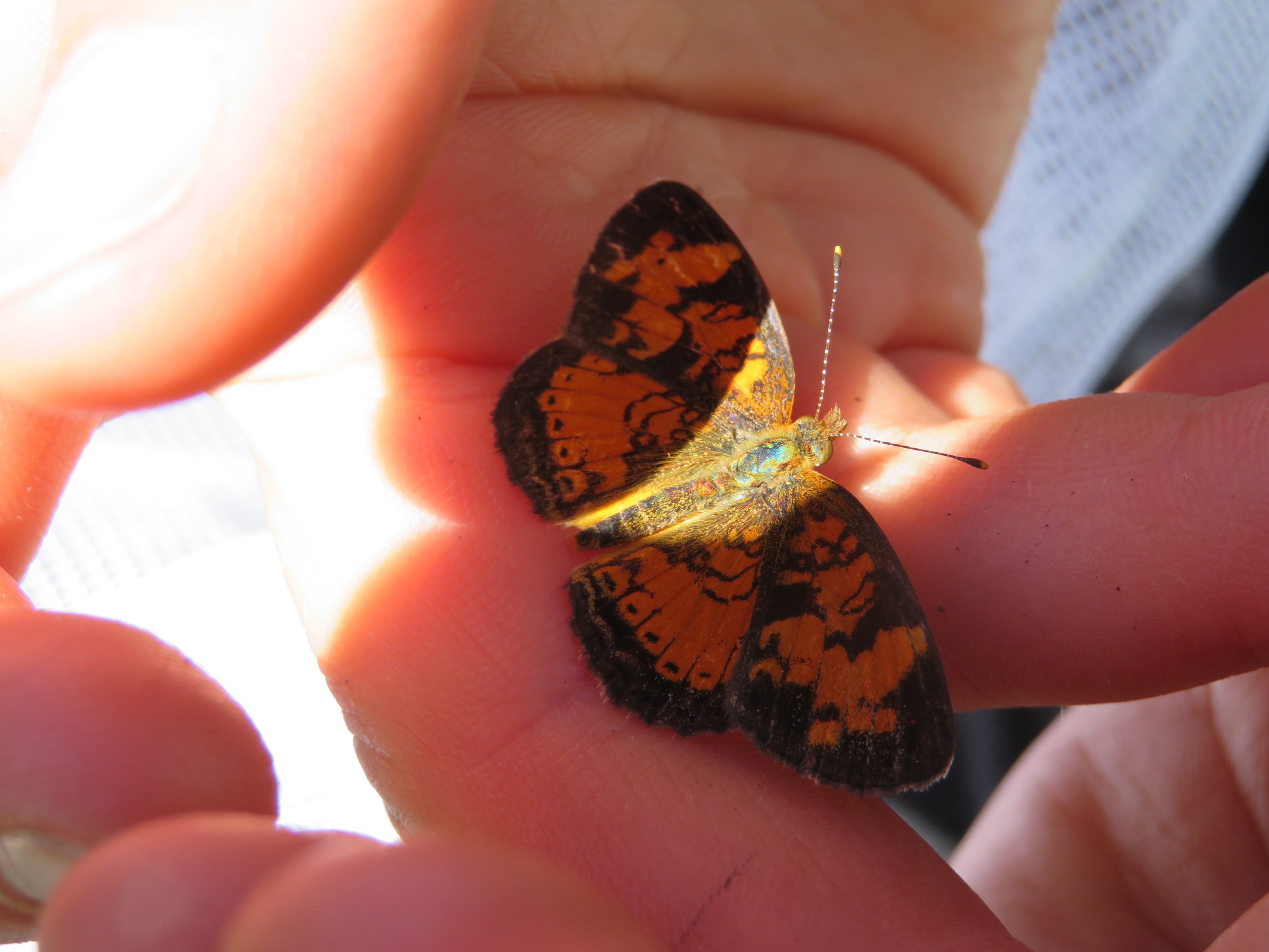 A butterfly in-hand is worth two on the flower -- look at the beautiful coloring of this pearl crescent butterfly! Photo by Maddie Dumas