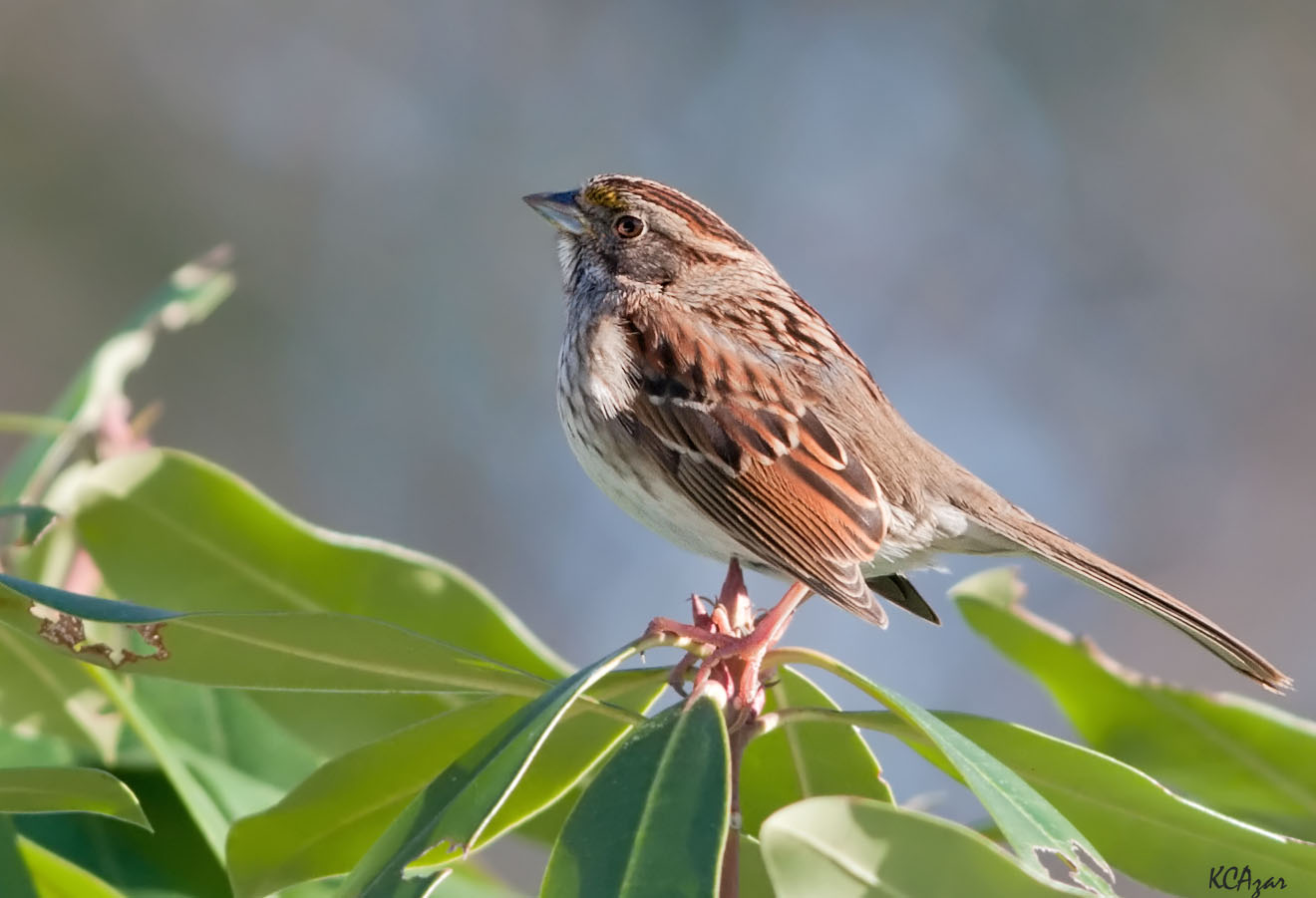 Tan-striped white-throated sparrow, photo by Kelly Colgan Azar