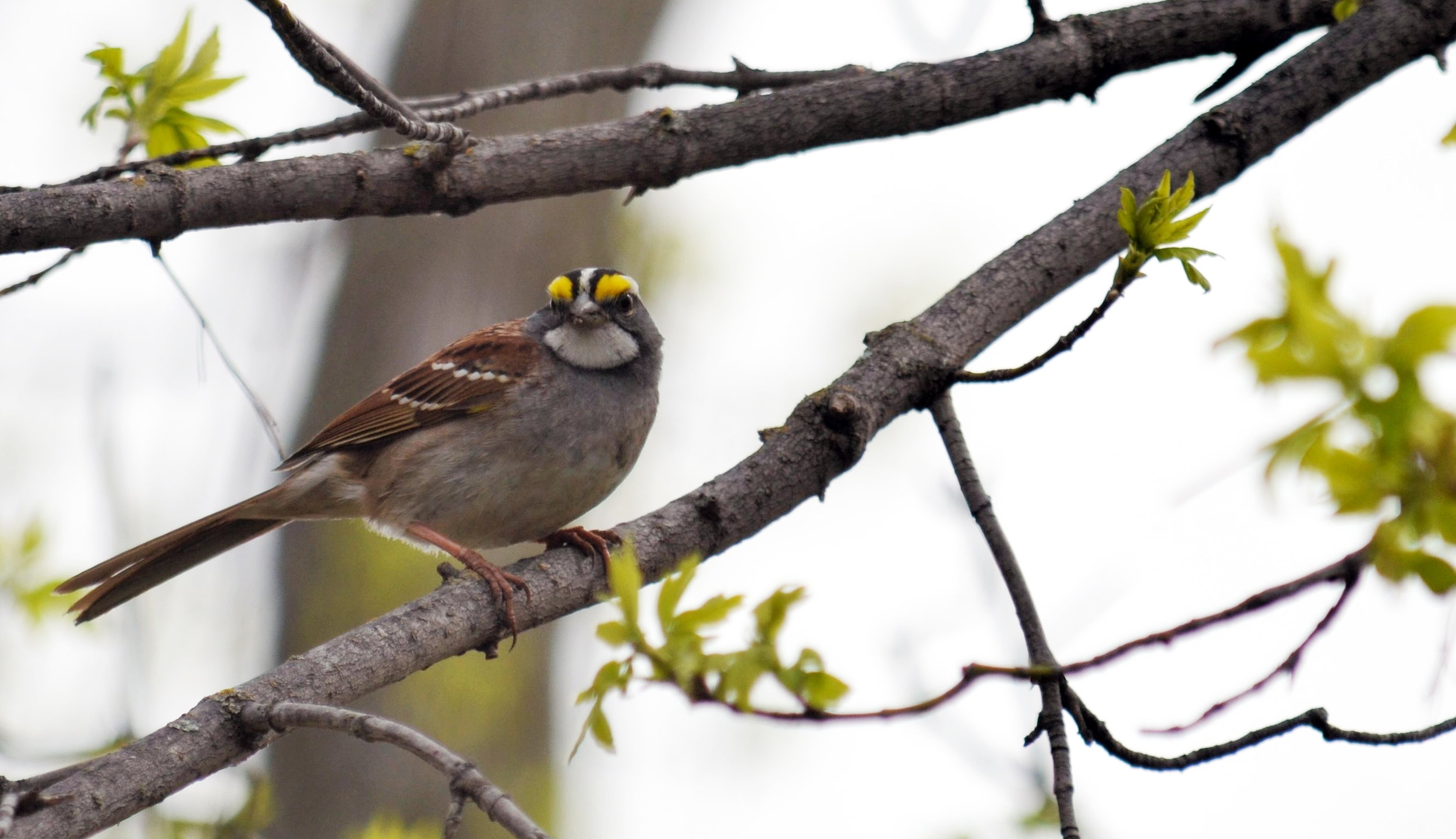 White-striped white-throated sparrow, photo by USFWS Midwest