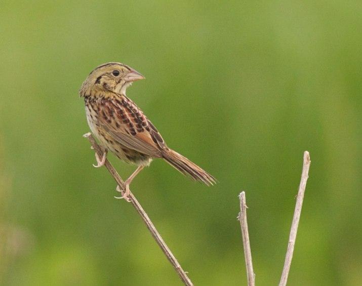 Henslow's sparrow, photo by Arlene Koziol