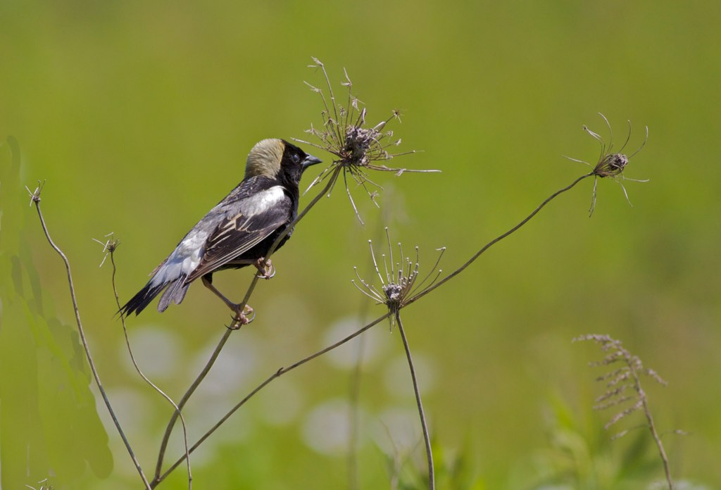 Bobolink, photo by Arlene Koziol