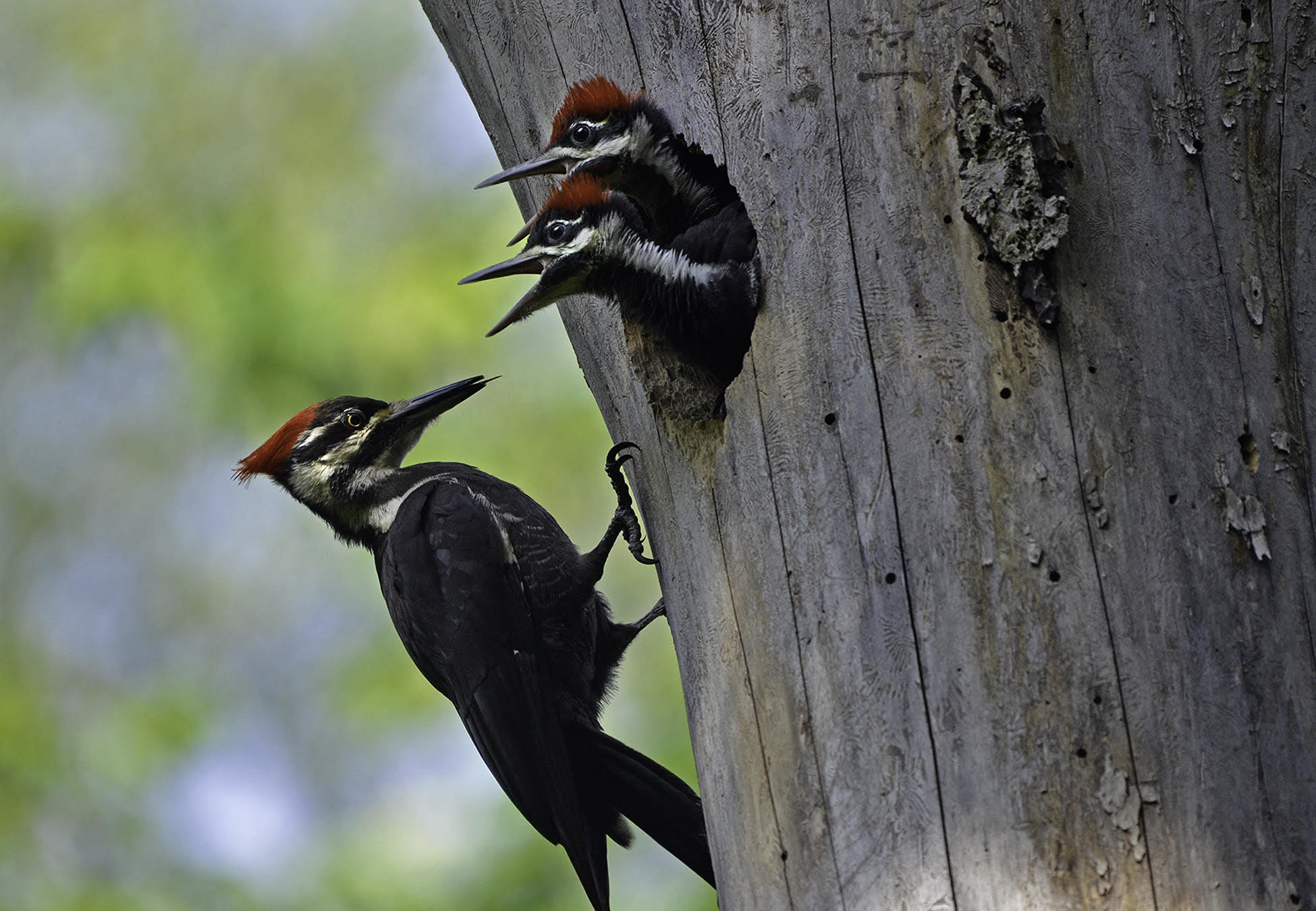 Mama pileated is bringing home the bacon... errrr, bugs for her young nesting in a tree at Madison Audubon's Otsego Marsh. Photo by Mark Martin