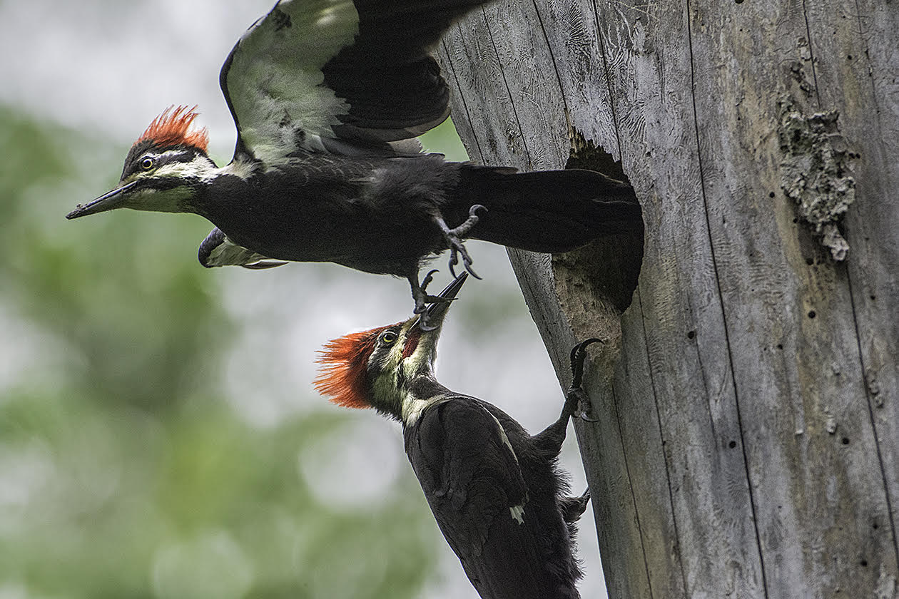 A pair of pileated woodpeckers navigate the entryway of a nest at Otsego Marsh in Columbia County. Photo by Richard Armstrong