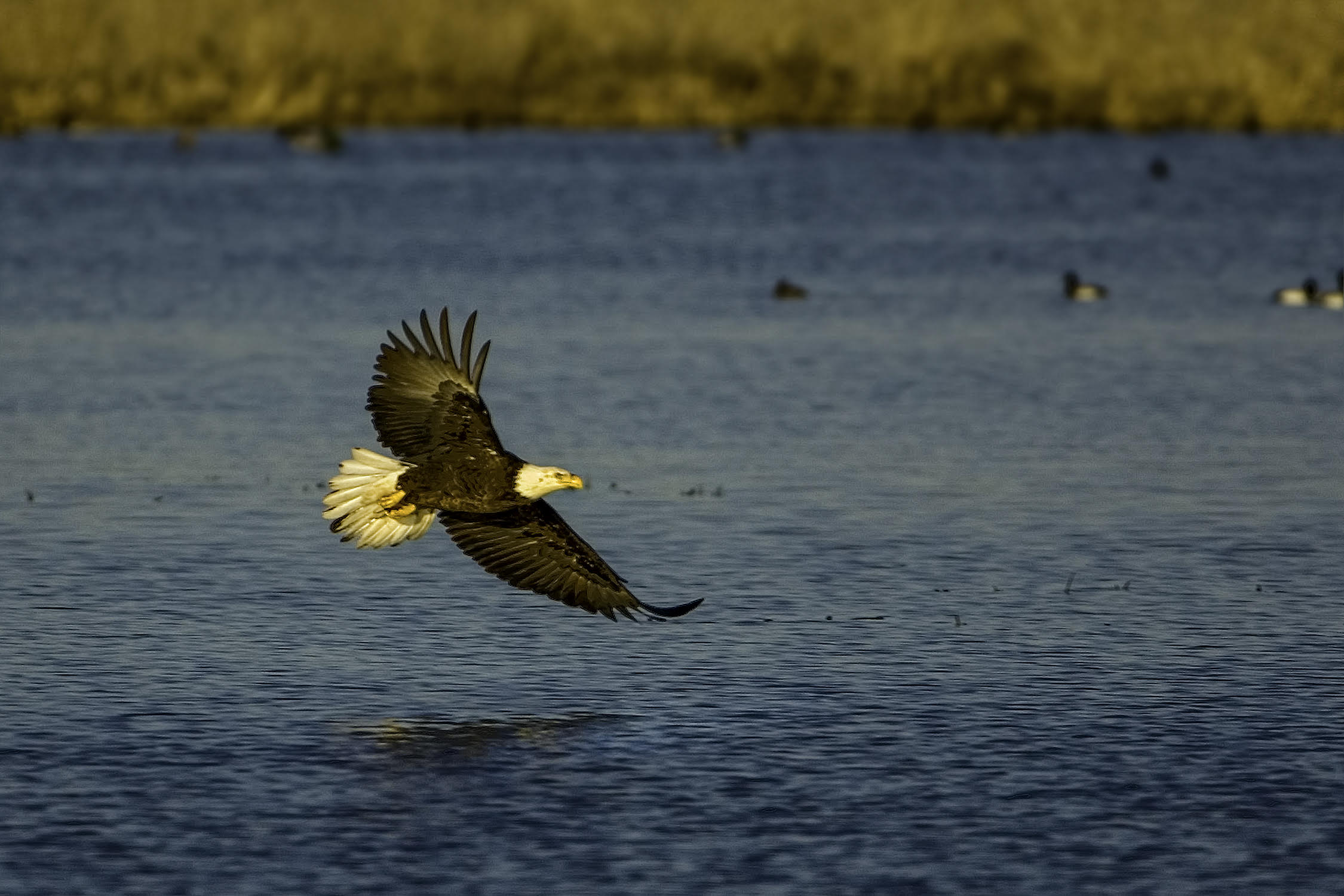 A visit from a top predator can clear the waters of Goose Pond quickly. Photo by Richard Armstrong