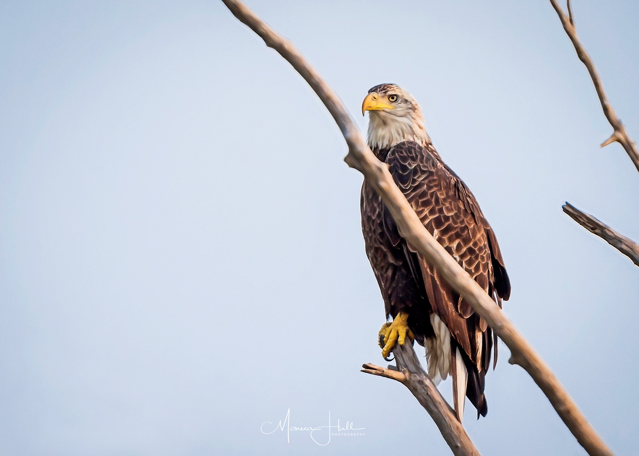 A perched baldie looking quite stately. Photo by Monica Hall