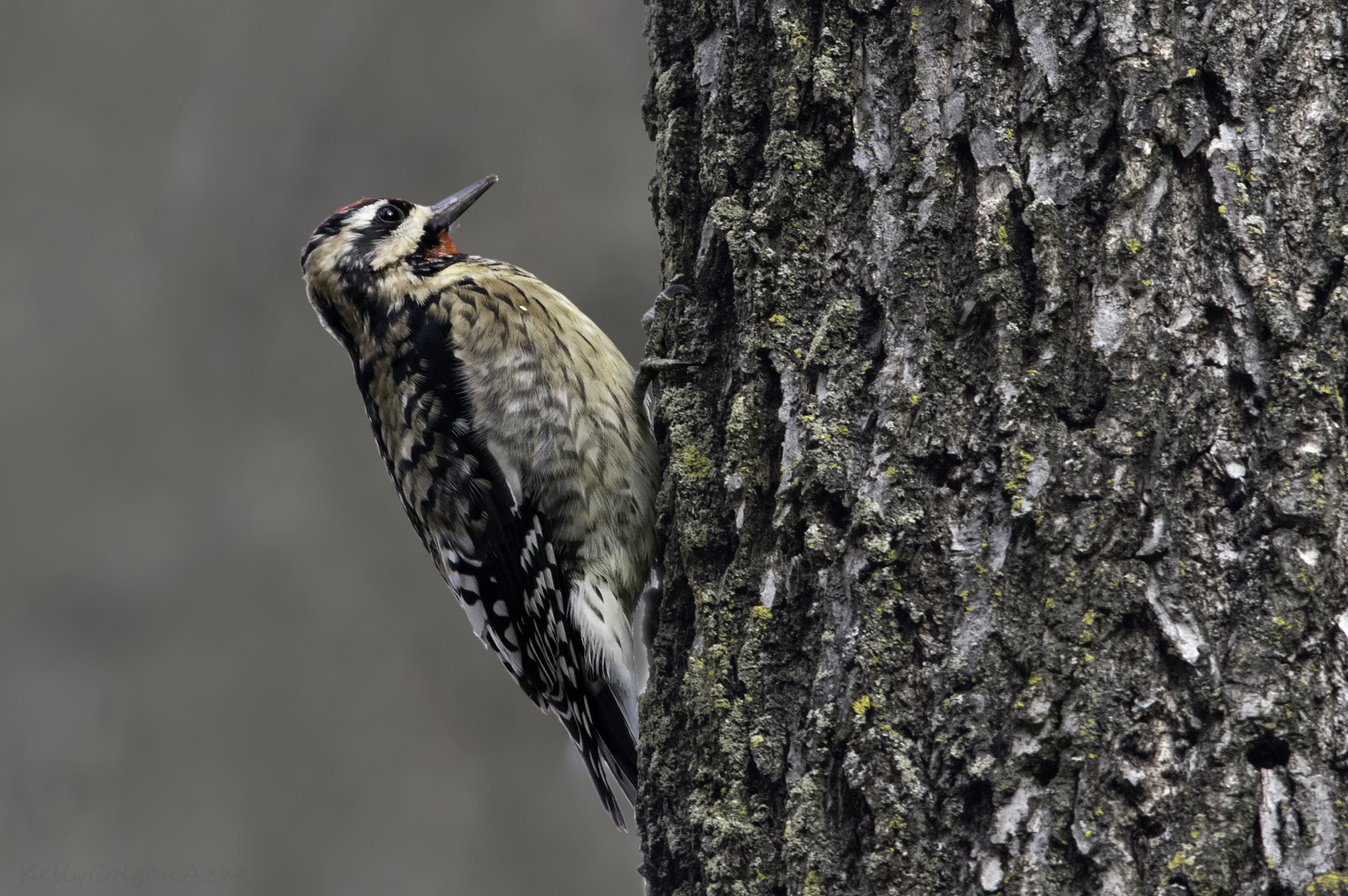 Yellow-bellied sapsucker, photo by Kelly Colgan Azar