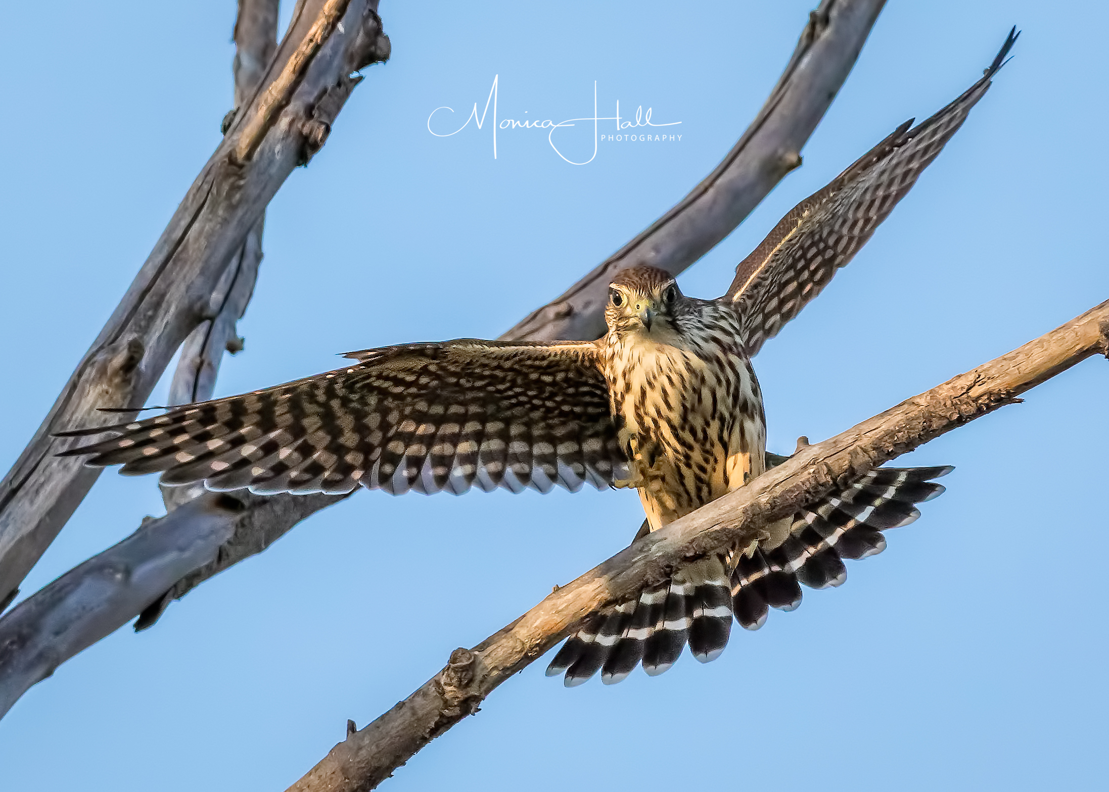 Merlin, photo by Monica Hall