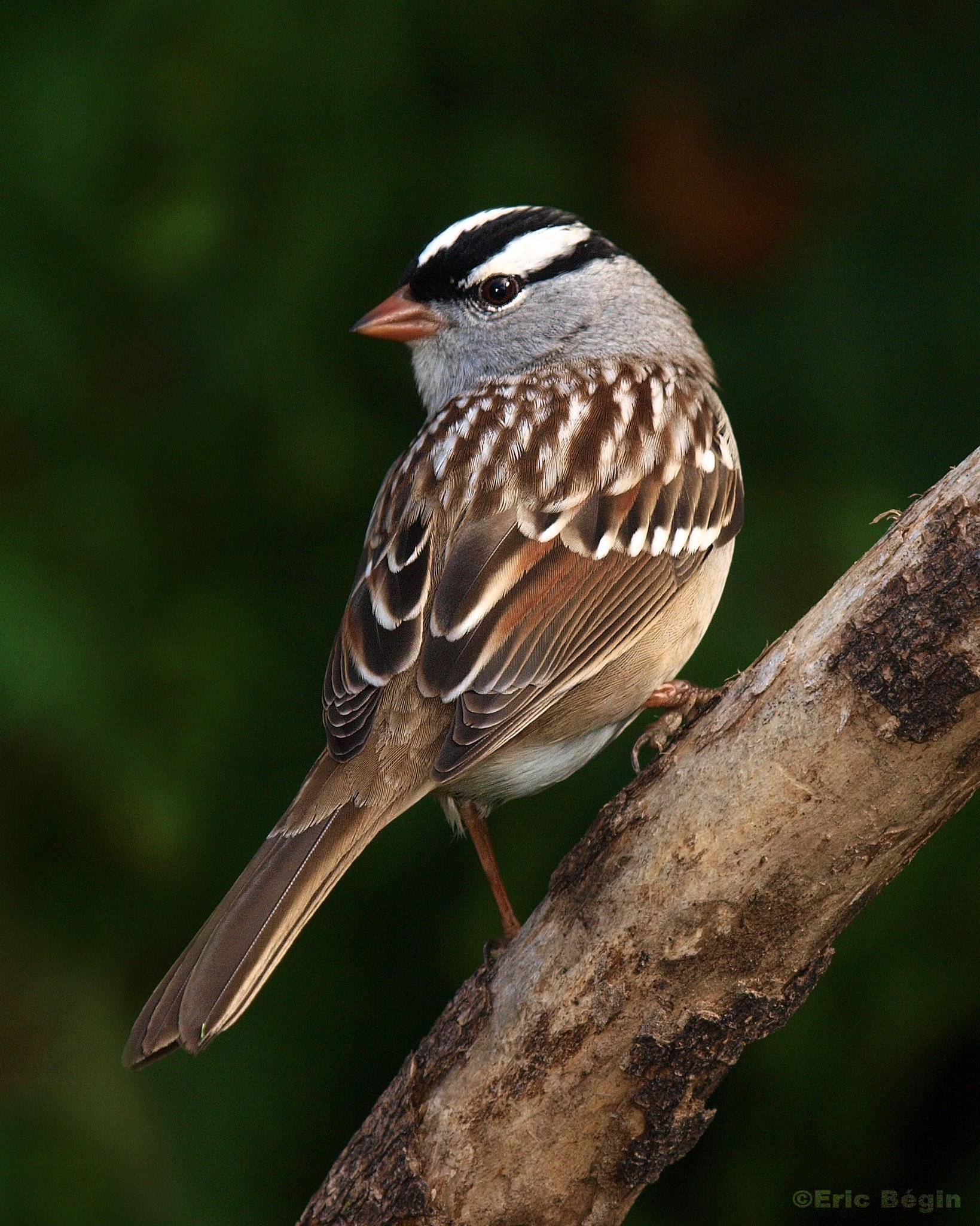 White-crowned sparrow, photo by Eric Begin