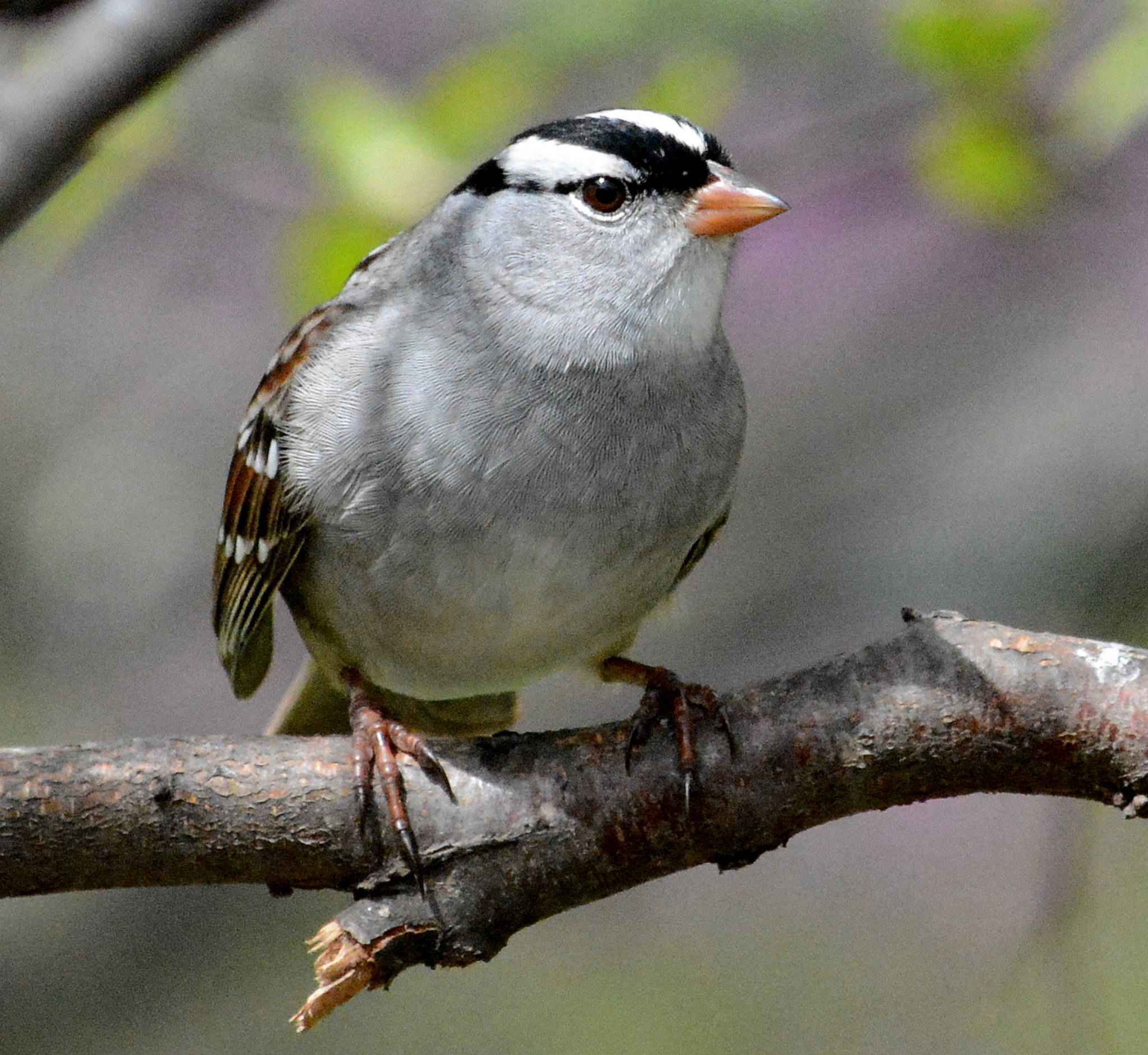 White-crowned sparrow, photo by USFWS Midwest