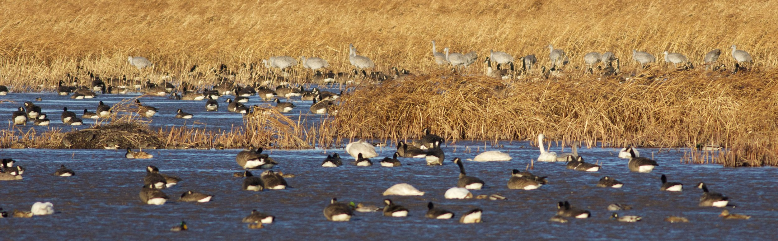 Goose Pond is bumper-to-bumper waterfowl. Photo by Arlene Koziol