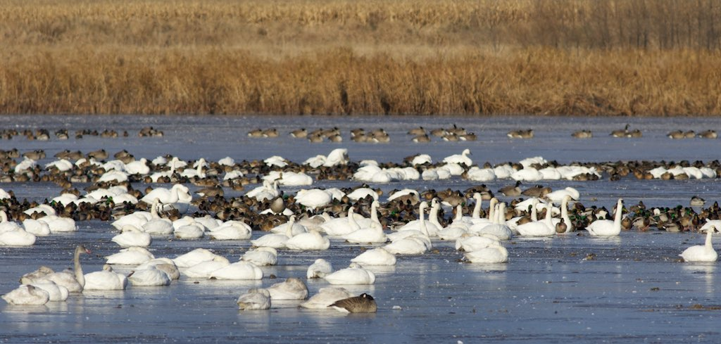Tundra swans and Canada geese sleep on the ice at Goose Pond (photo taken Nov. 10). Photo by Arlene Koziol