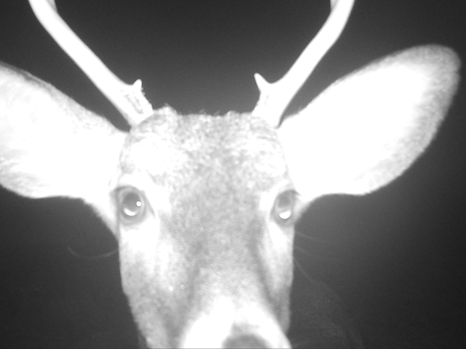 A curious deer gets up close and personal with the trail camera. October 13, 2017