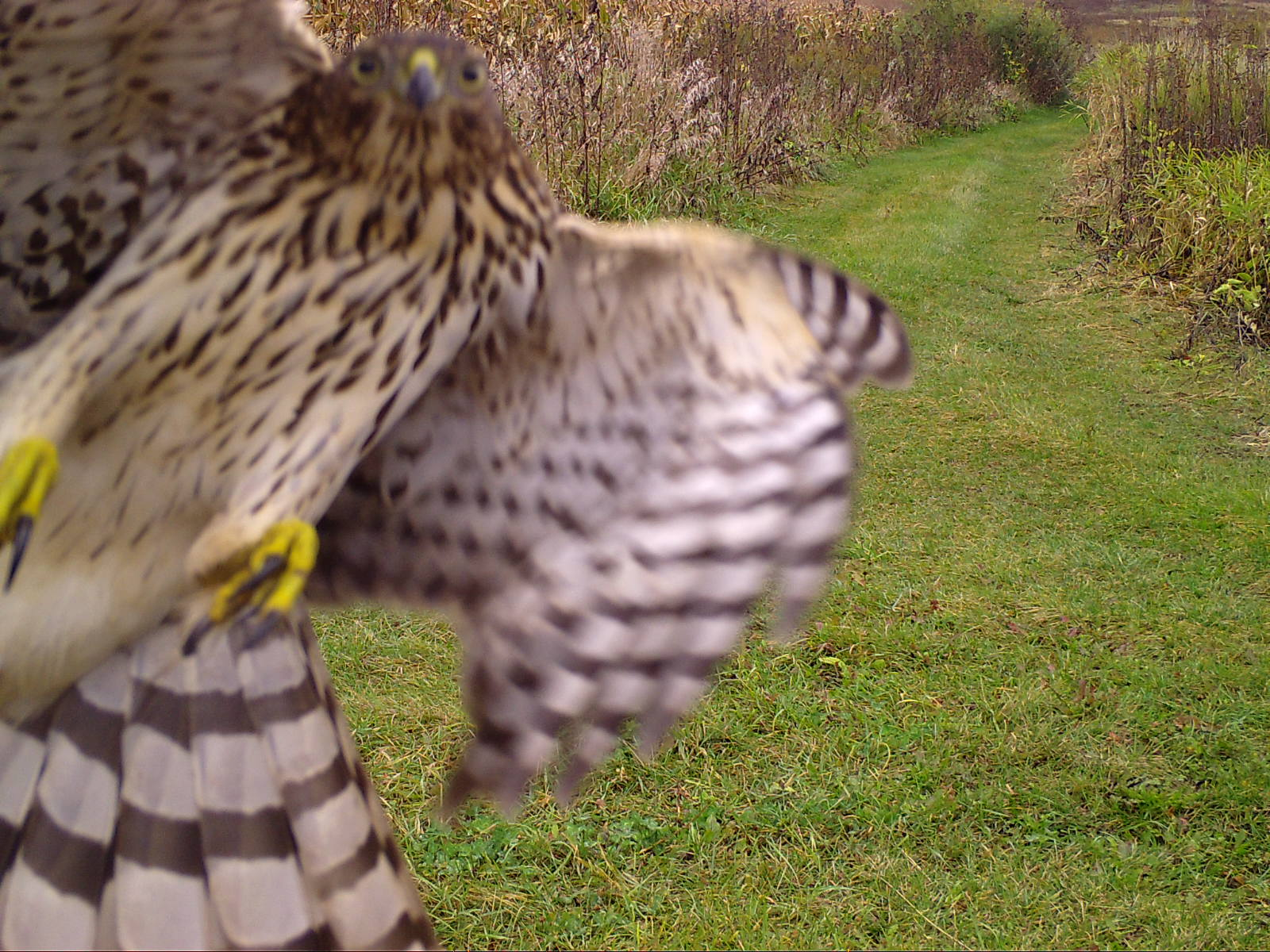 Cooper's hawk flying at the camera. October 11 , 2017