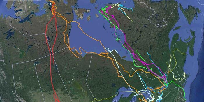 Project SNOWstorm tracks migrations and movements of snowy owls across North America. Photo from projectstowstorm.org