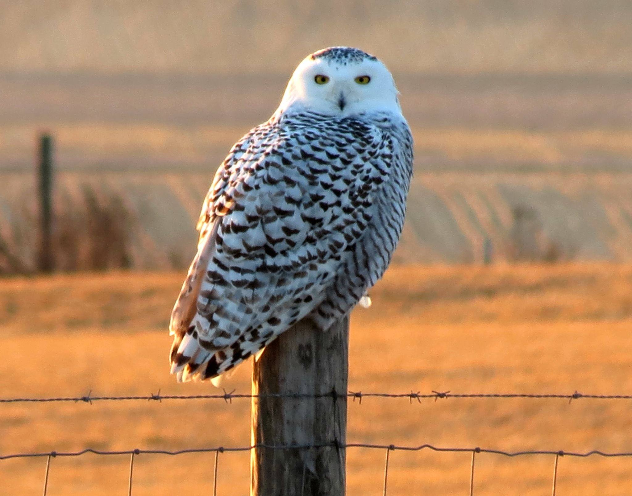 A snowy owl perches in the late afternoon sun. Photo by Lester Doyle