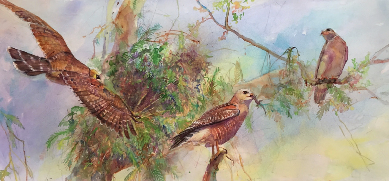 Red-shouldered hawk and nest. Painting by Peggy Macnamara