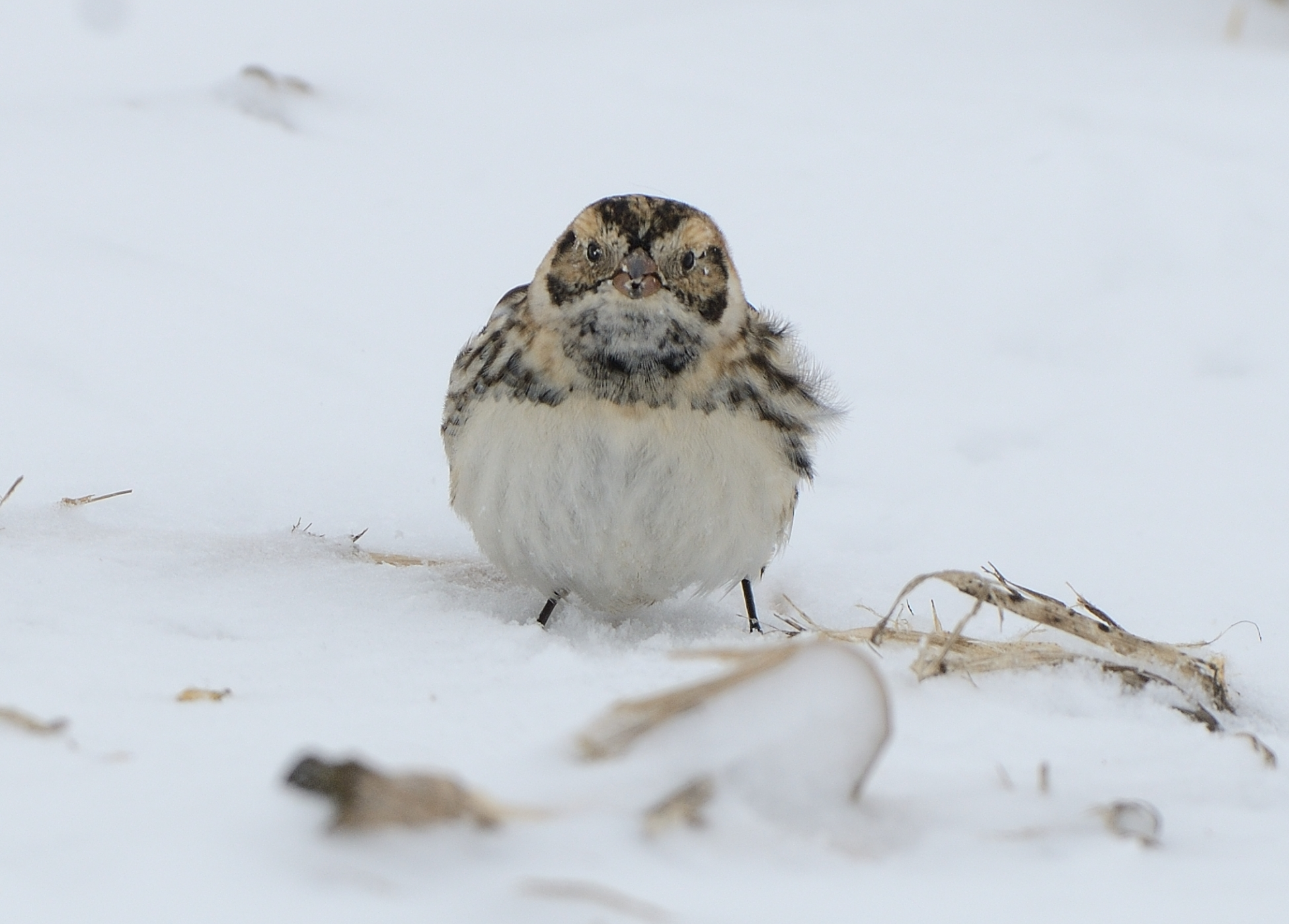 Just another Lapland longspur. Photo by Dave Inman